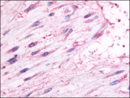 AP06927PU-N - Oxytocin receptor / OXTR