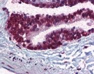 AP07554PU-N - CDC16 / APC6