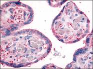 AP07106PU-N - CD29 / Integrin beta-1