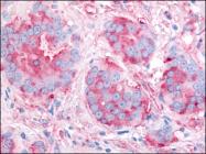 AP07108PU-N - CD309 / VEGFR-2 / Flk-1