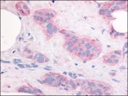 AP07109PU-N - CD309 / VEGFR-2 / Flk-1