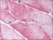 AP07127PU-N - ACTA2 / aortic smooth muscle Actin