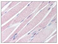 AP07993PU-N - Anosmin-1