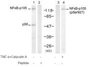 AP08022PU-S - NF-kB p105 / p50
