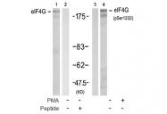 AP08034PU-S - EIF4G1 / EIF4F