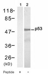 AP08046PU-S - TP53 / p53