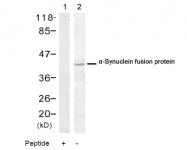 AP08057PU-N - Alpha-Synuclein / SNCA