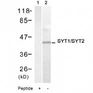 AP08066PU-S - Synaptotagmin 1/2