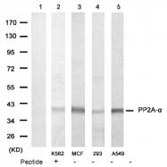 AP08081PU-N - PPP2CA