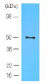 AM03124PU-N - CD196 / CCR6