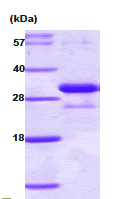 AR09000PU-N - Adiponectin