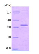 AR09001PU-N - Adenylate kinase 3 / AK3