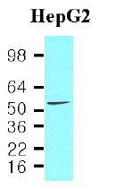 AM09026PU-N - PDCD4