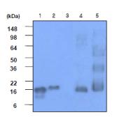 AM09033PU-N - Alpha-Synuclein / SNCA