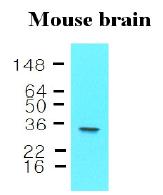 AM09042PU-N - 14-3-3 protein epsilon