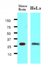 AM09044PU-N - 14-3-3 protein gamma