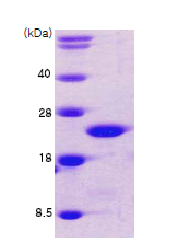 AR09012PU-L - Cofilin-1