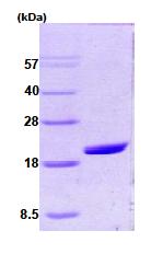 AR09015PU-L - Cyclophilin A