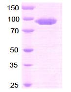 AR09019PU-N - CD26 / DPP4