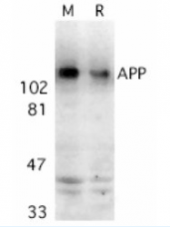 AP05817PU-N - Amyloid beta A4 protein / APP