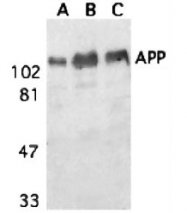 AP05818PU-N - Amyloid beta A4 protein / APP