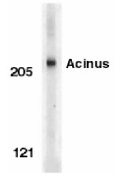 AP05825PU-N - Acinus / ACIN1