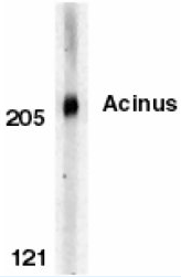 AP05826PU-N - Acinus / ACIN1