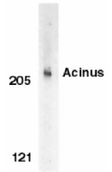 AP05827PU-N - Acinus / ACIN1