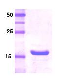 AR09032PU-L - Somatotropin / Growth Hormone / GH1