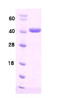 AR09036PU-L - DNAJB1 / HSP40