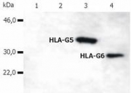 AM03081PU-N - HLA class I  alpha G / HLA-G