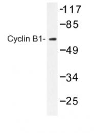 AP01169PU-N - Cyclin B1