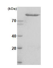 AR09039PU-L - Hexokinase-2