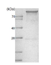AR09040PU-L - Hexokinase-1