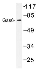 AP01178PU-N - GAS6 / AXLLG