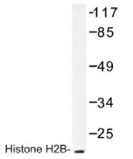 AP01181PU-N - Histone H2B