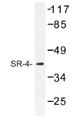 AP01189PU-N - Serotonin receptor 4 / HTR4