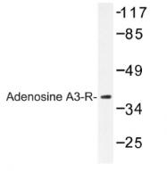AP01190PU-N - Adenosine receptor A3