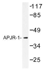 AP01191PU-N - Apelin Receptor