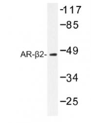 AP01192PU-N - Beta-2 adrenergic receptor