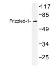 AP01203PU-N - FZD1 / Frizzled-1