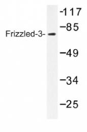 AP01205PU-N - FZD3 / Frizzled-3