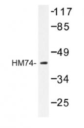 AP01206PU-N - Nicotinic acid receptor 2