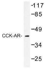 AP01210PU-N - CCK-A Receptor
