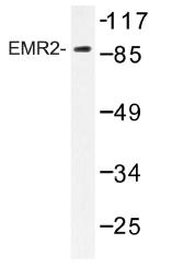 AP01214PU-N - CD312 / EMR2