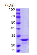 AR09045PU-N - Interleukin-1 alpha / IL-1A