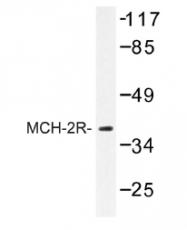AP01217PU-N - MCHR2 / GPR145