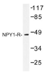 AP01221PU-N - NPY receptor 1 / NPY1R