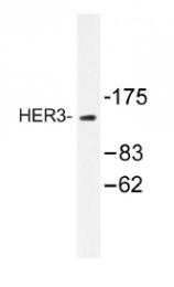 AP01222PU-N - ERBB3 / HER3