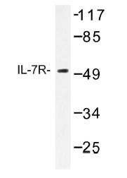 AP01223PU-N - CD127 / IL7R